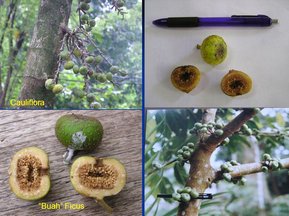 Cauliflora Buah Ficus