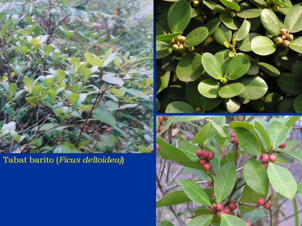 Tabat barito (Ficus deltoidea))