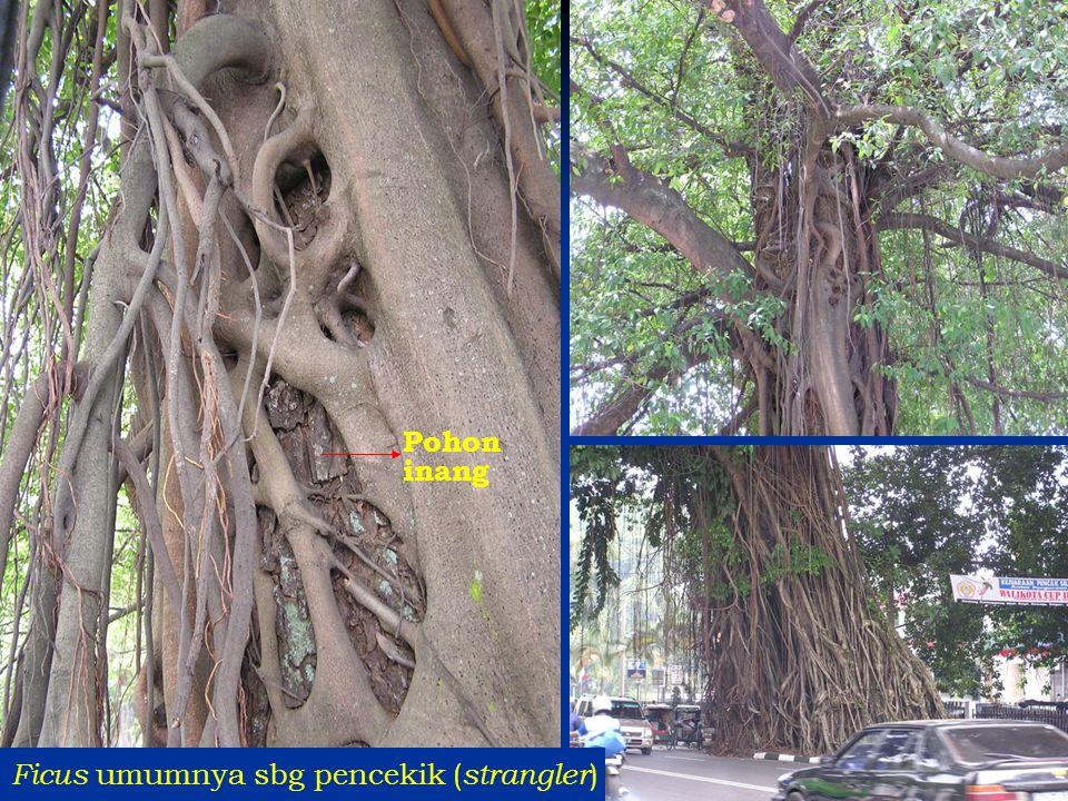 Pohon inang Ficus umumnya sbg pencekik (strangler)