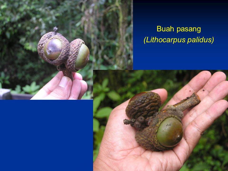 (Lithocarpus palidus)