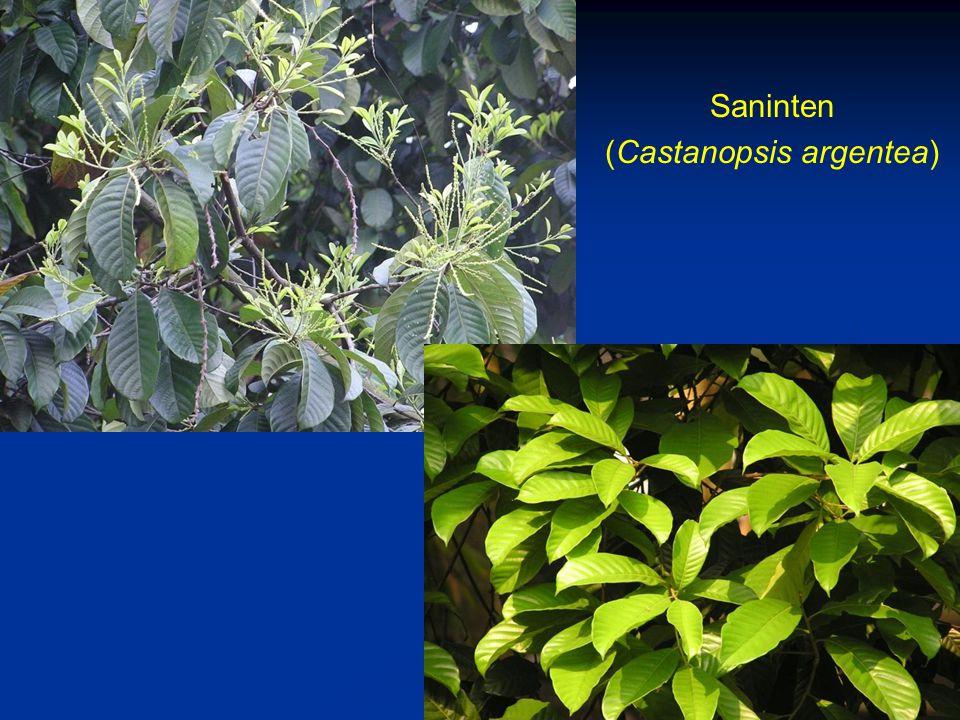 (Castanopsis argentea)