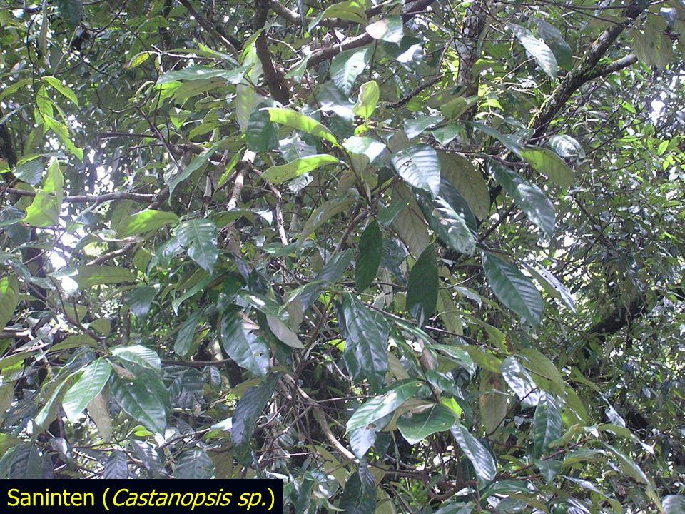 Saninten (Castanopsis sp.)
