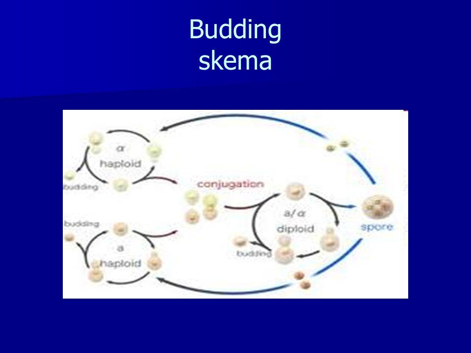 Budding skema