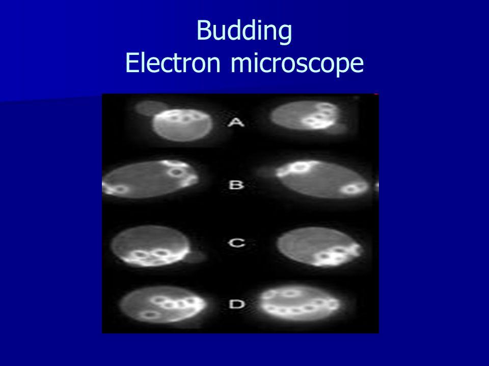Budding Electron microscope