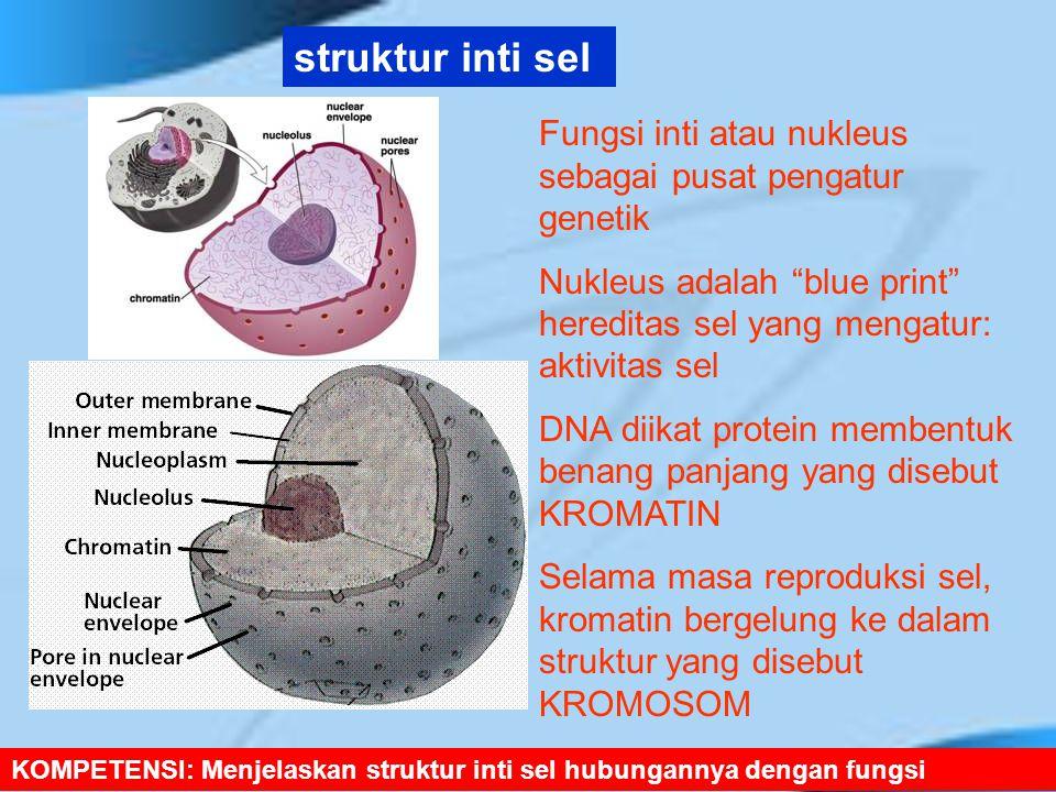 struktur inti sel Fungsi inti atau nukleus sebagai pusat pengatur genetik. Nukleus adalah blue print hereditas sel yang mengatur: aktivitas sel.