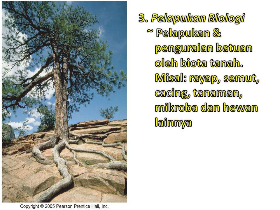 3. Pelapukan Biologi ~ Pelapukan & penguraian batuan oleh biota tanah.