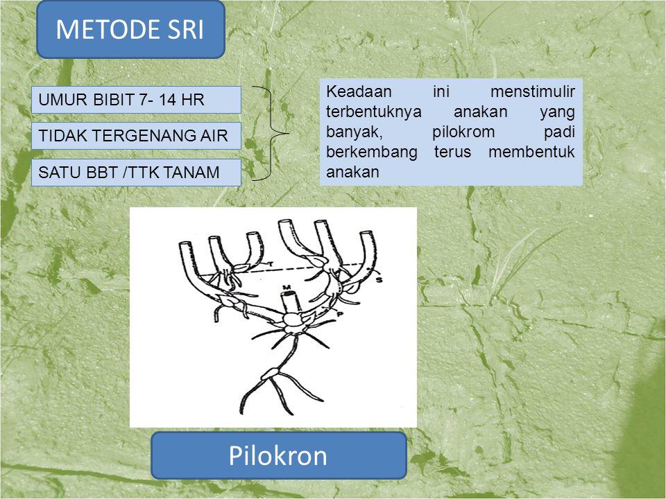 METODE SRI Keadaan ini menstimulir terbentuknya anakan yang banyak, pilokrom padi berkembang terus membentuk anakan.