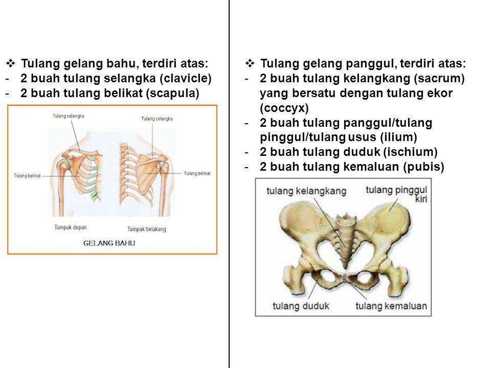 Tulang gelang bahu, terdiri atas: