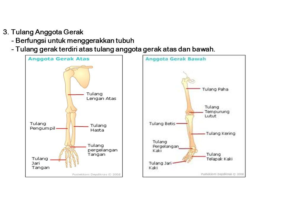 3. Tulang Anggota Gerak - Berfungsi untuk menggerakkan tubuh.