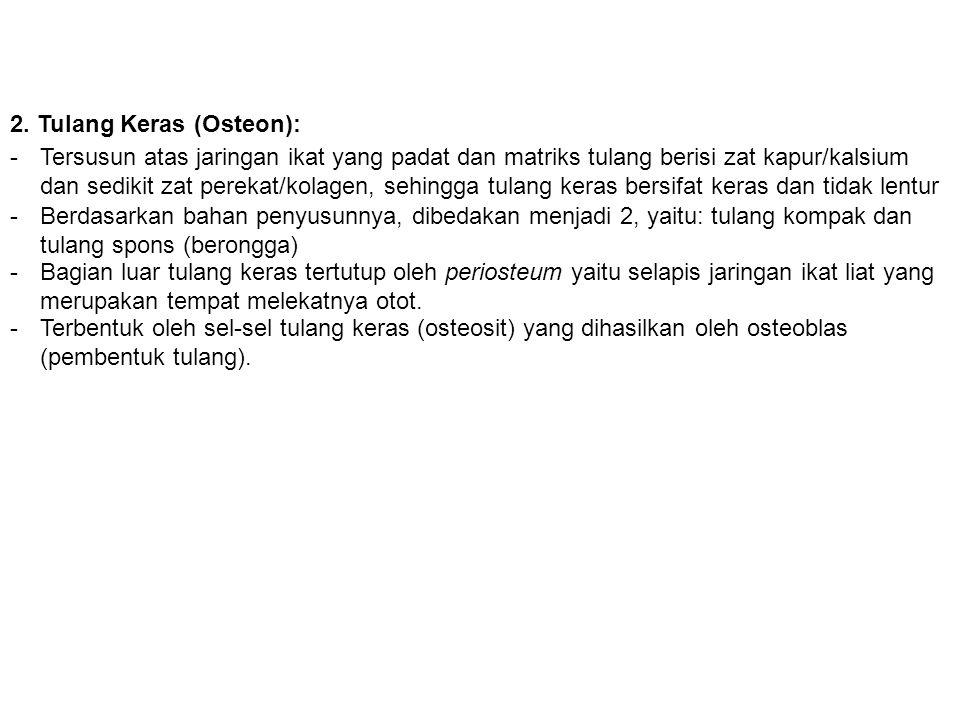 2. Tulang Keras (Osteon):