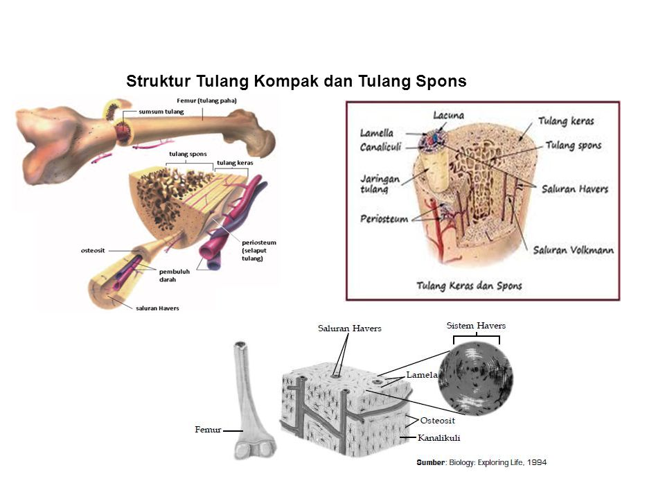 Struktur Tulang Kompak dan Tulang Spons