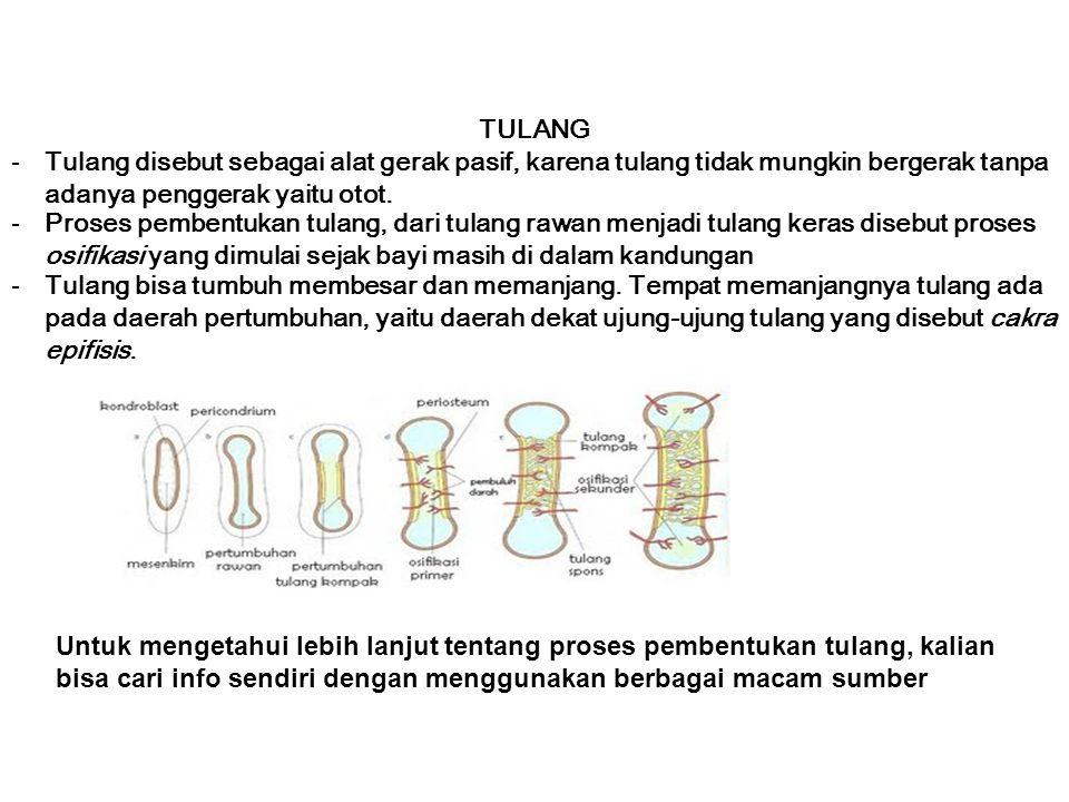 TULANG Tulang disebut sebagai alat gerak pasif, karena tulang tidak mungkin bergerak tanpa adanya penggerak yaitu otot.