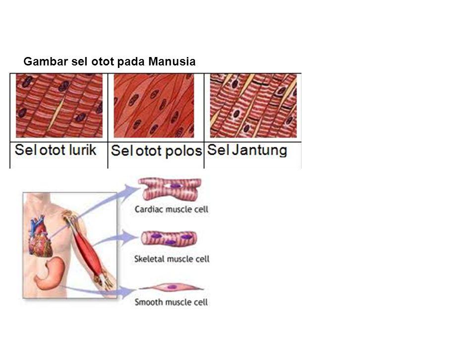 Gambar sel otot pada Manusia