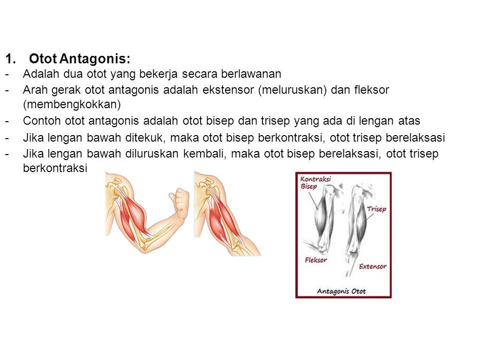 Otot Antagonis: Adalah dua otot yang bekerja secara berlawanan