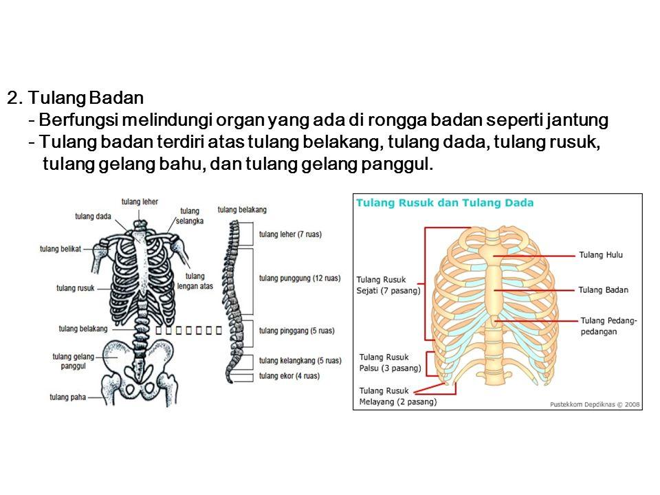 2. Tulang Badan - Berfungsi melindungi organ yang ada di rongga badan seperti jantung.