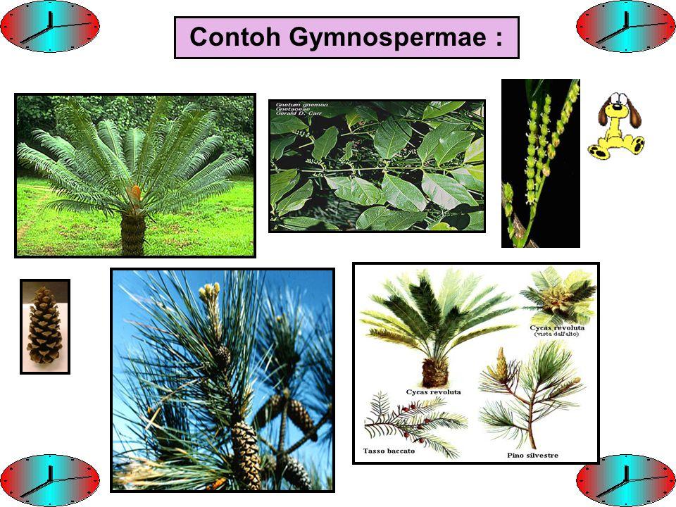Contoh Gymnospermae :