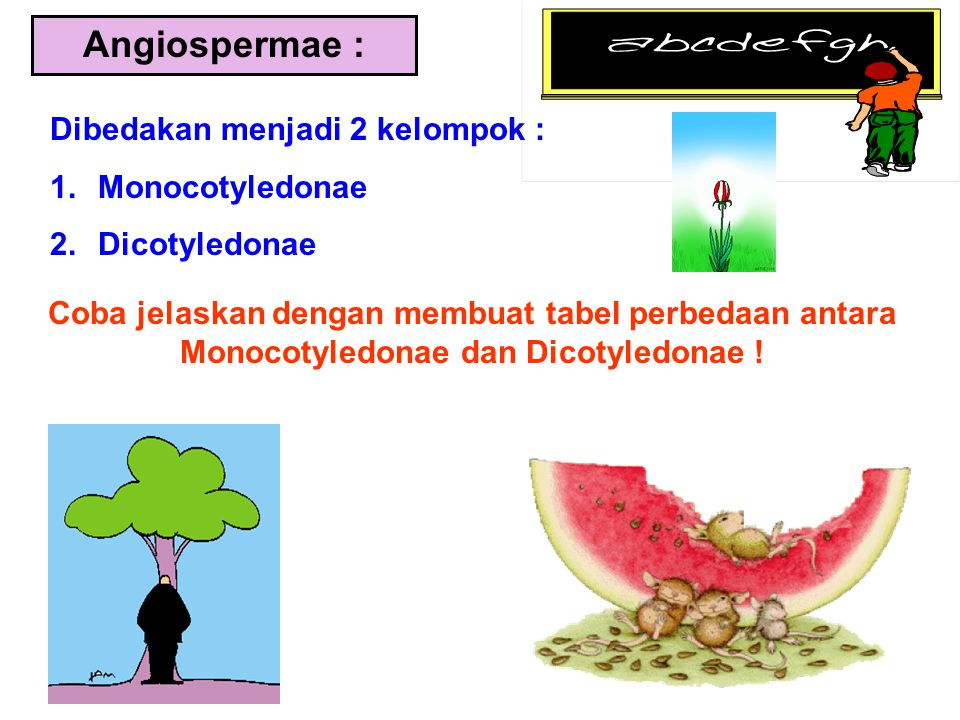Angiospermae : Dibedakan menjadi 2 kelompok : Monocotyledonae