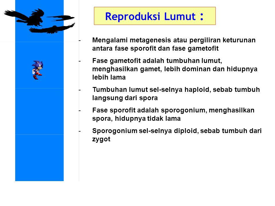 Reproduksi Lumut : Mengalami metagenesis atau pergiliran keturunan antara fase sporofit dan fase gametofit.
