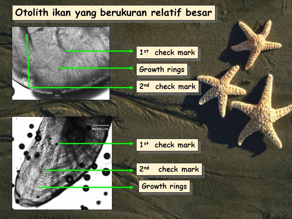 Otolith ikan yang berukuran relatif besar