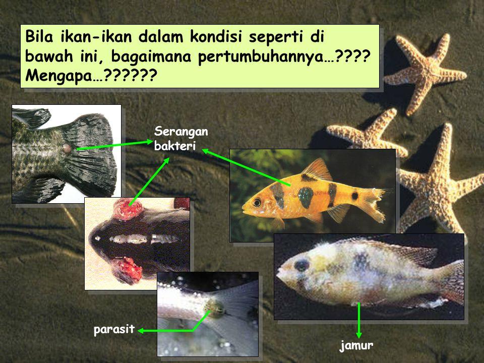 Bila ikan-ikan dalam kondisi seperti di bawah ini, bagaimana pertumbuhannya…