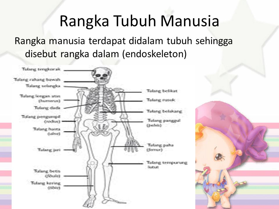 Rangka Tubuh Manusia Rangka manusia terdapat didalam tubuh sehingga disebut rangka dalam (endoskeleton)