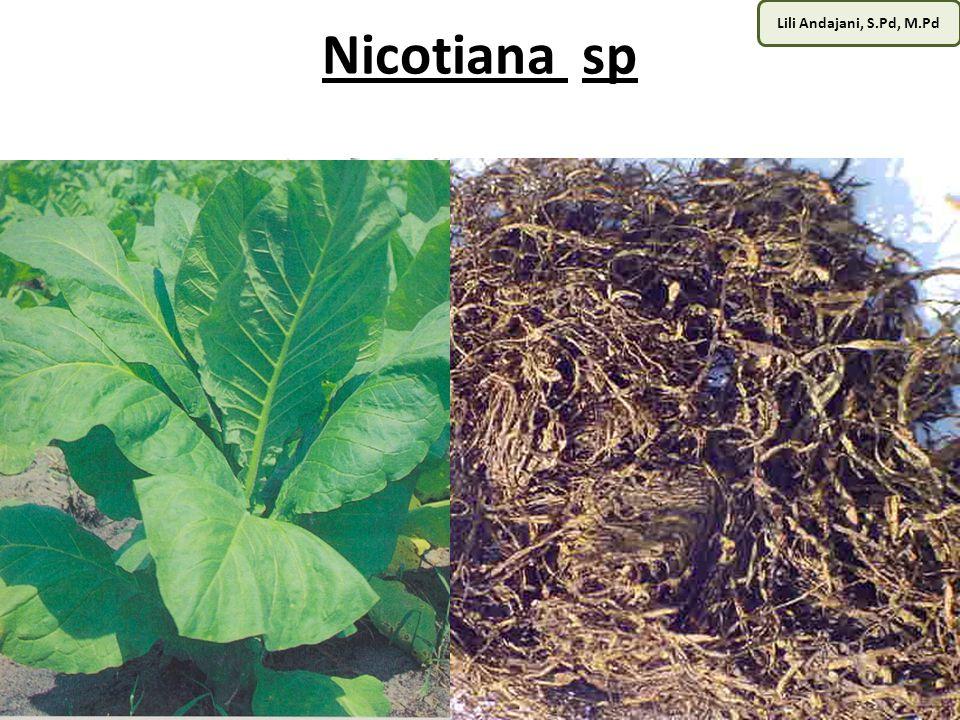 Nicotiana sp