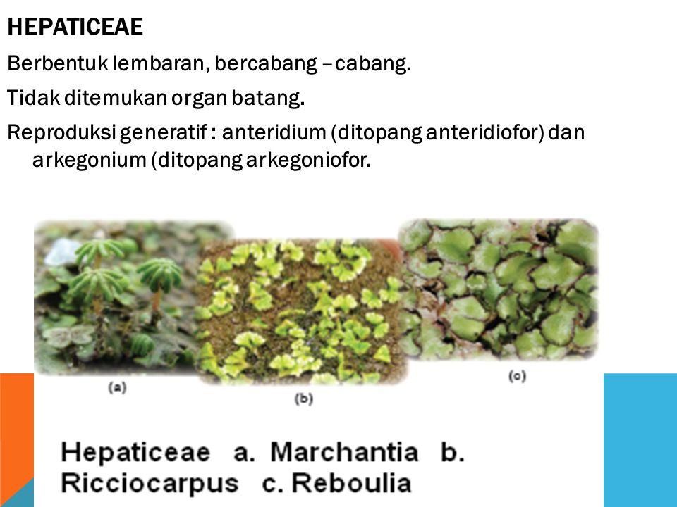 Hepaticeae