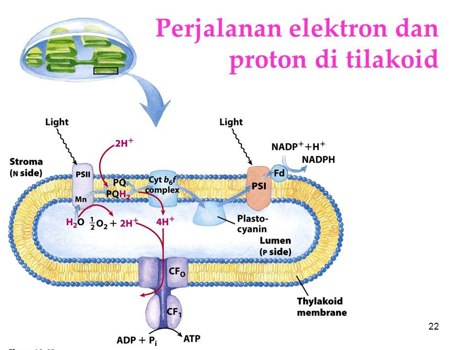 Perjalanan elektron dan proton di tilakoid
