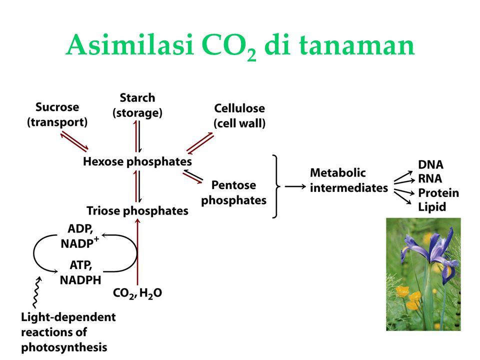 Asimilasi CO2 di tanaman