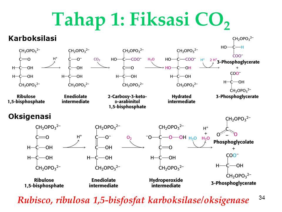 Tahap 1: Fiksasi CO2 Karboksilasi. Oksigenasi. KI3061. Rubisco, ribulosa 1,5-bisfosfat karboksilase/oksigenase.