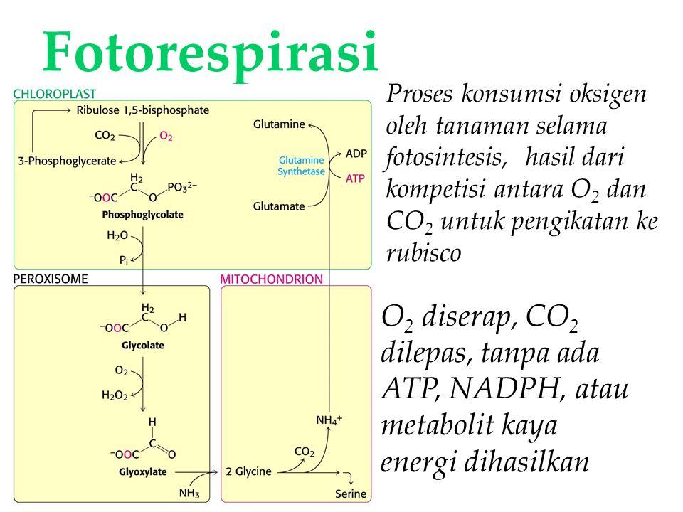 Fotorespirasi Proses konsumsi oksigen oleh tanaman selama fotosintesis, hasil dari kompetisi antara O2 dan CO2 untuk pengikatan ke rubisco.