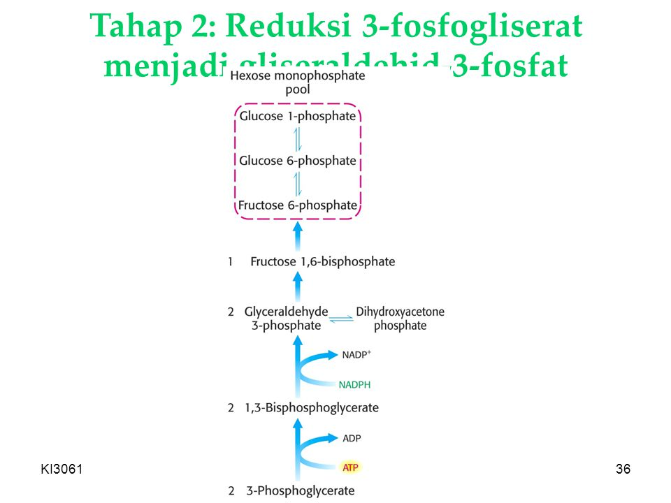 Tahap 2: Reduksi 3-fosfogliserat menjadi gliseraldehid-3-fosfat