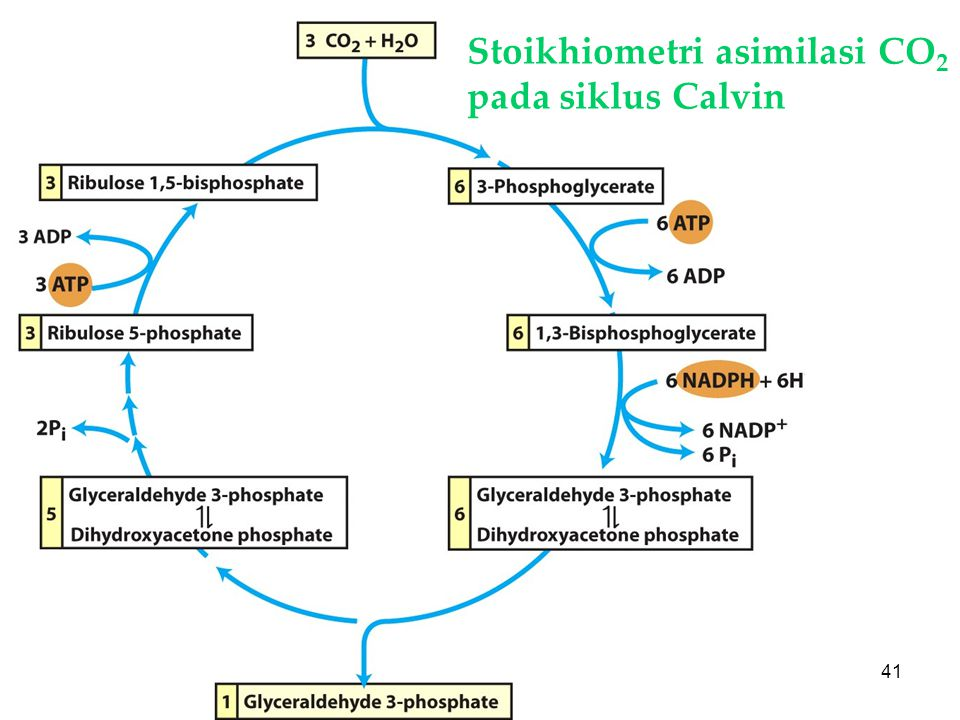 Stoikhiometri asimilasi CO2 pada siklus Calvin