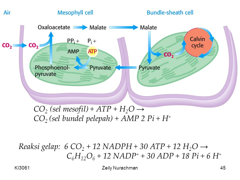 CO2 (sel mesofil) + ATP + H2O → CO2 (sel bundel pelepah) + AMP 2 Pi + H+