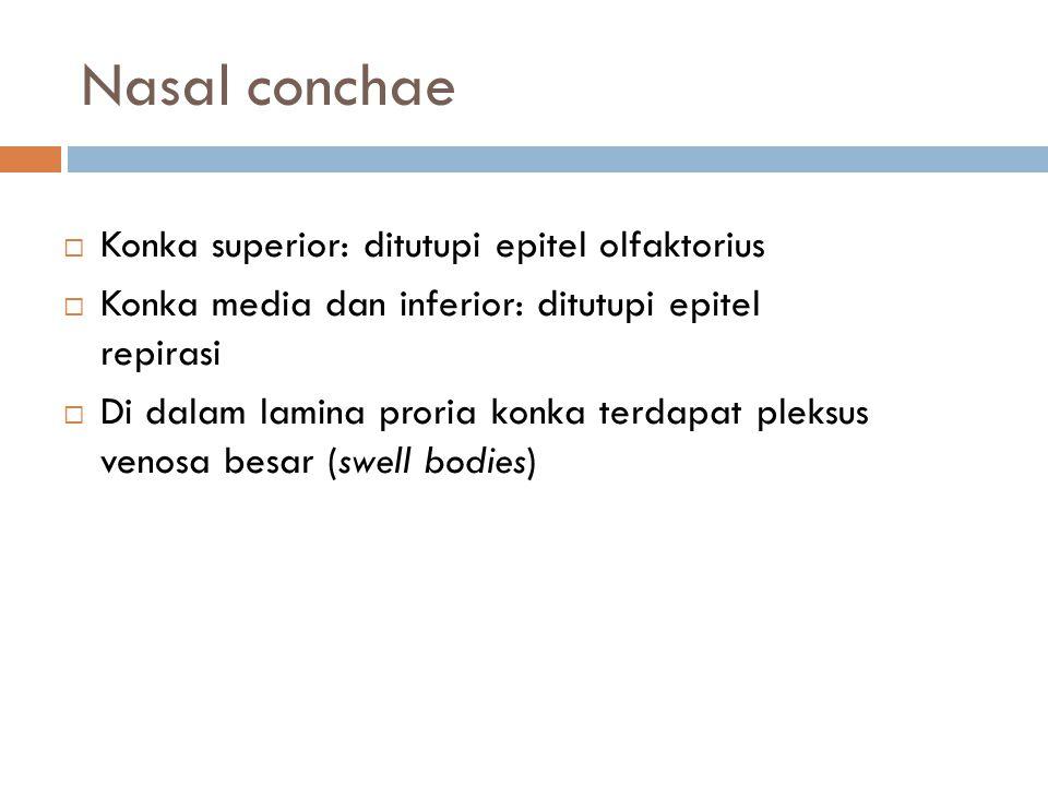 Nasal conchae Konka superior: ditutupi epitel olfaktorius