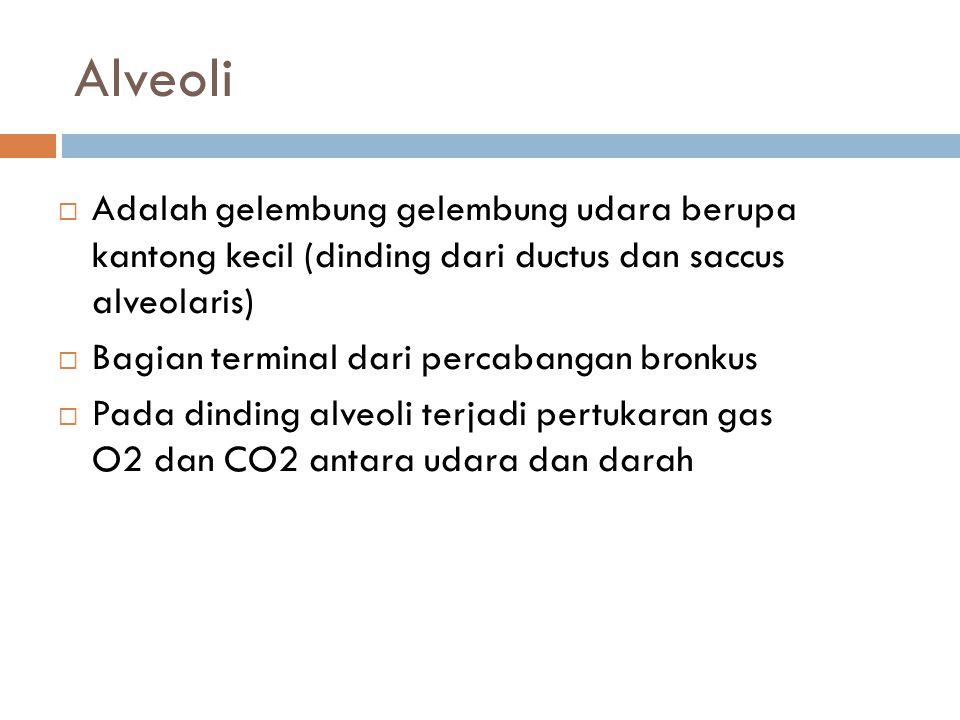 Alveoli Adalah gelembung gelembung udara berupa kantong kecil (dinding dari ductus dan saccus alveolaris)