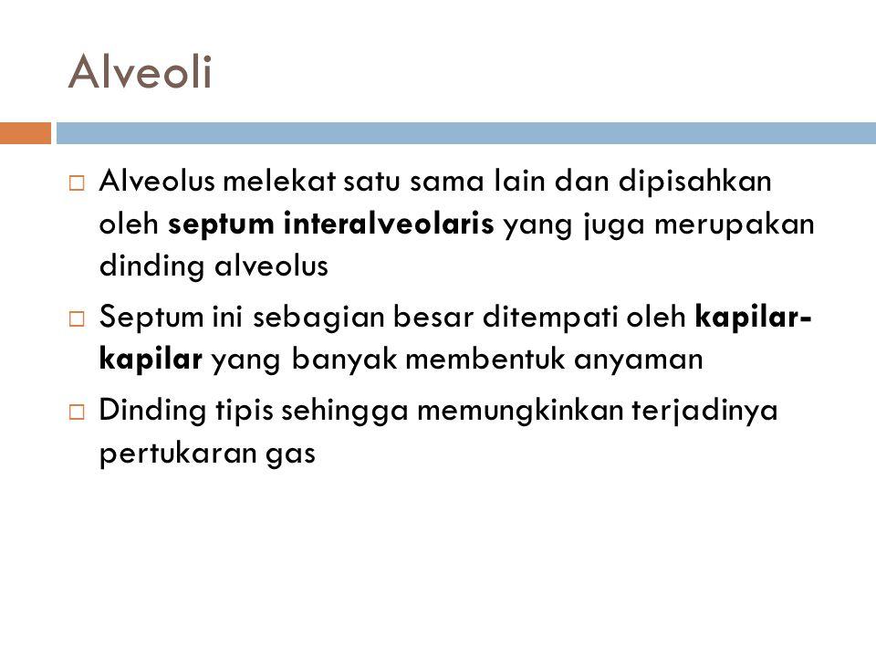 Alveoli Alveolus melekat satu sama lain dan dipisahkan oleh septum interalveolaris yang juga merupakan dinding alveolus.