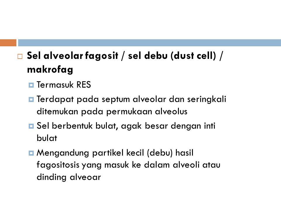 Sel alveolar fagosit / sel debu (dust cell) / makrofag