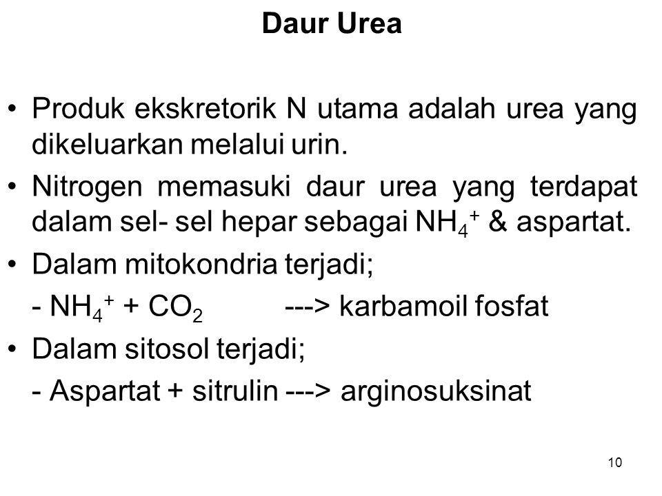 Daur Urea Produk ekskretorik N utama adalah urea yang dikeluarkan melalui urin.