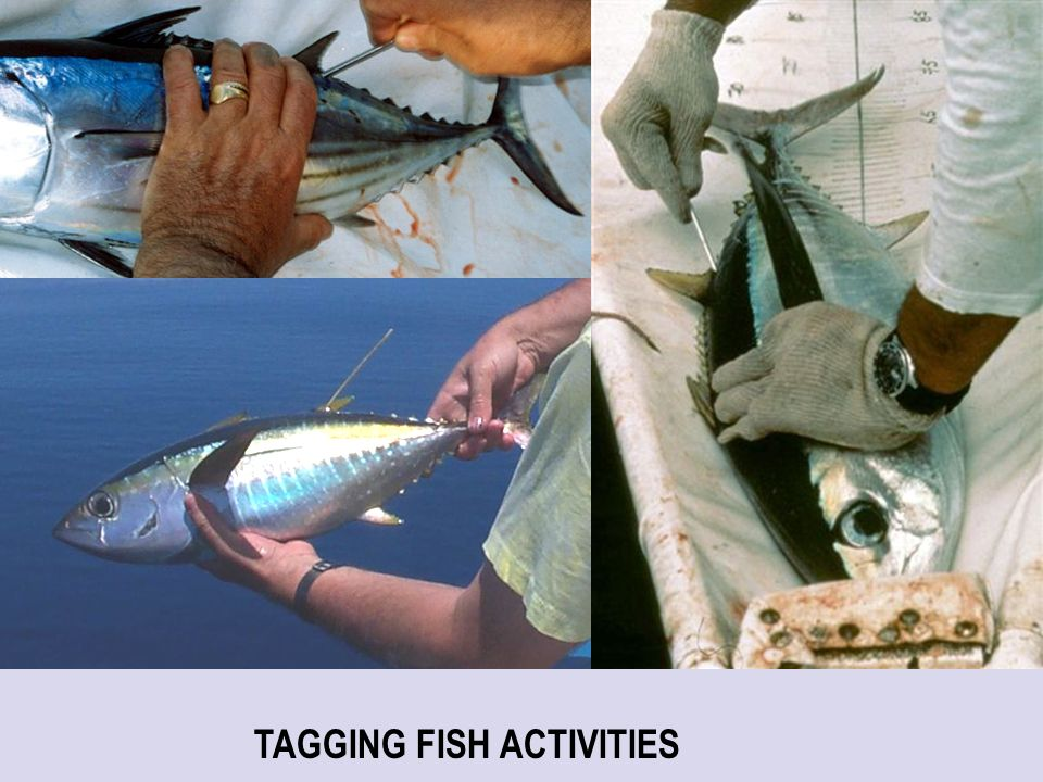 TAGGING FISH ACTIVITIES