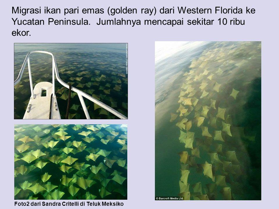 Migrasi ikan pari emas (golden ray) dari Western Florida ke Yucatan Peninsula. Jumlahnya mencapai sekitar 10 ribu ekor.