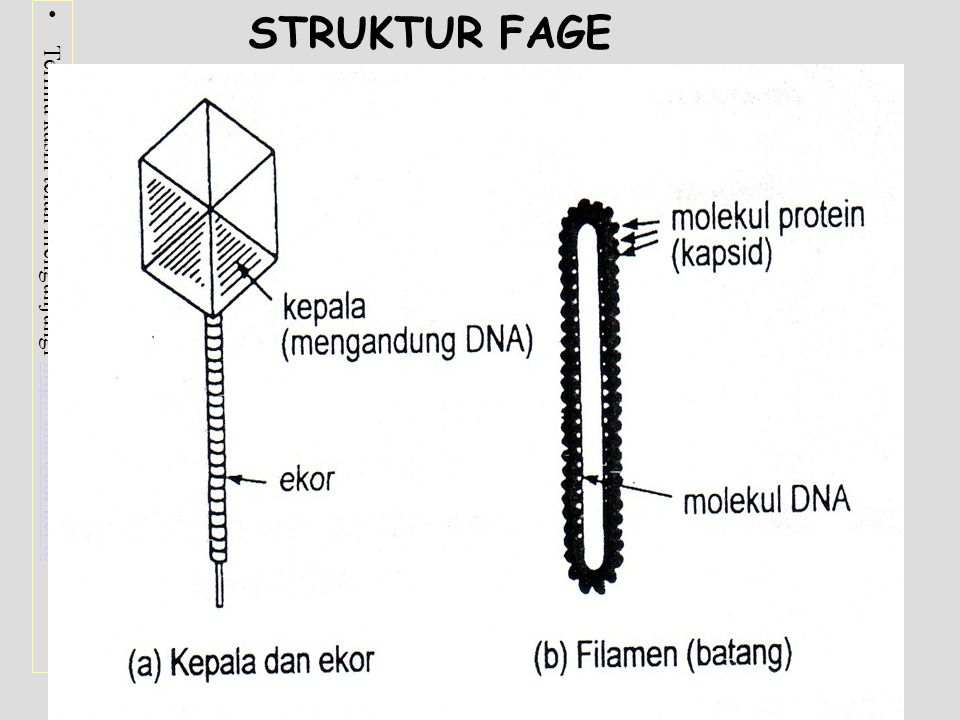 STRUKTUR FAGE