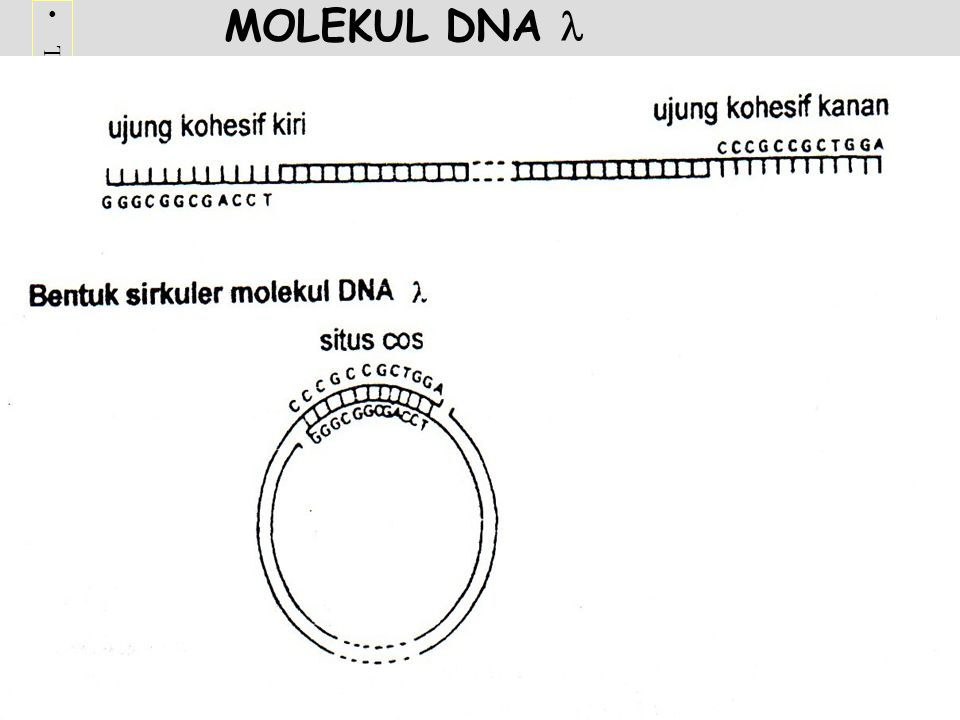 MOLEKUL DNA 