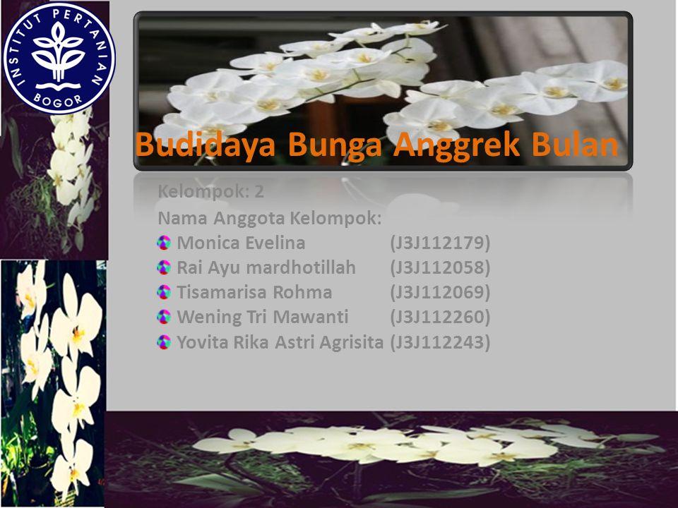 Budidaya Bunga Anggrek Bulan