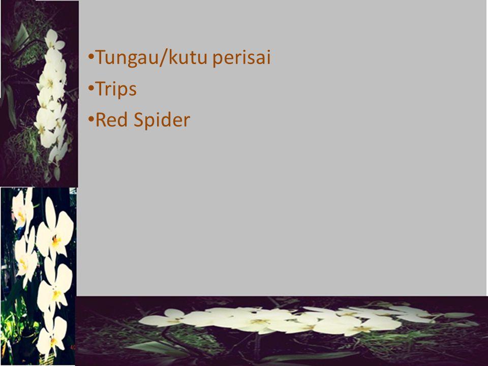 Tungau/kutu perisai Trips Red Spider