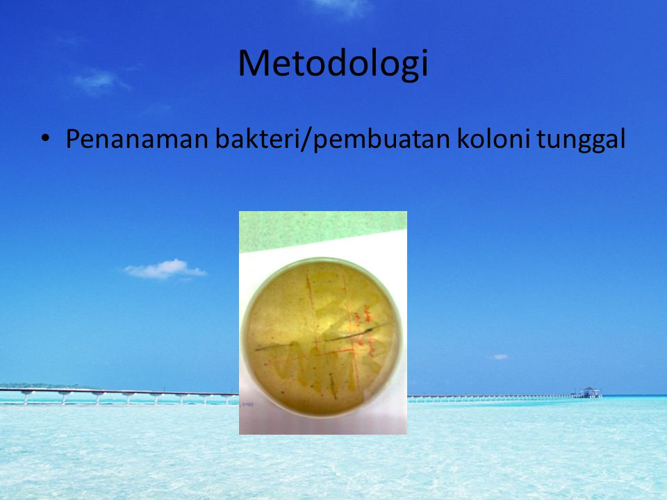 Metodologi Penanaman bakteri/pembuatan koloni tunggal