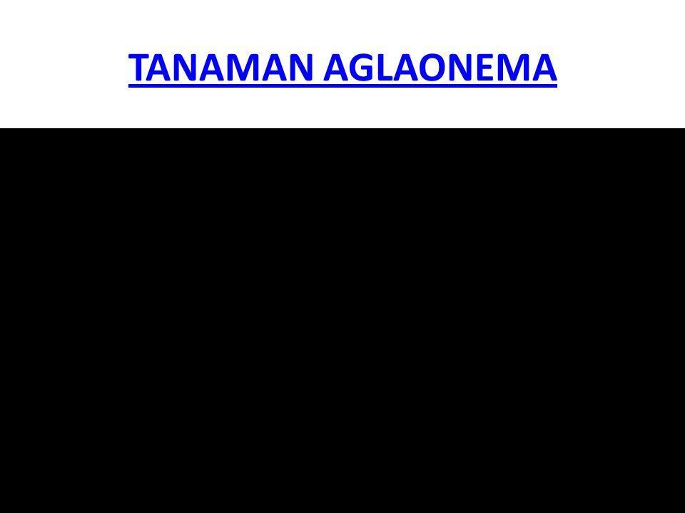 TANAMAN AGLAONEMA