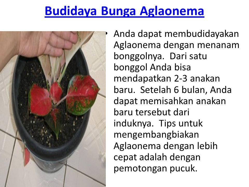 Budidaya Bunga Aglaonema