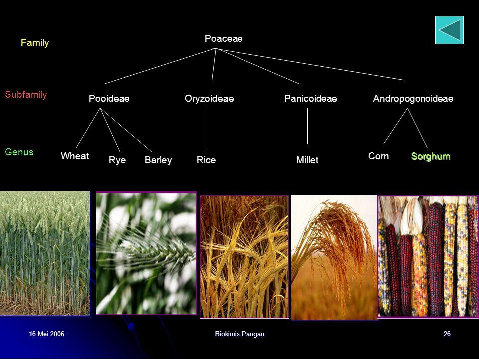Poaceae Family Subfamily Pooideae Oryzoideae Panicoideae