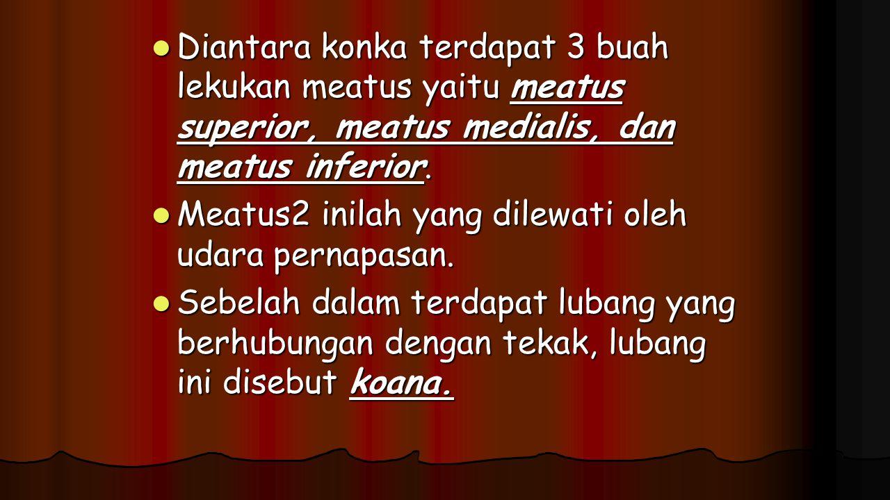 Diantara konka terdapat 3 buah lekukan meatus yaitu meatus superior, meatus medialis, dan meatus inferior.